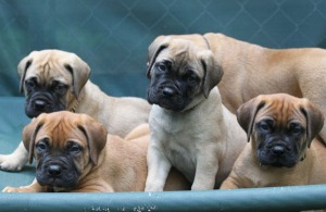 """""""Toni"""", """"Madd Dawg"""", """"Monday"""" and """"Rusty"""", 7 weeks old"""