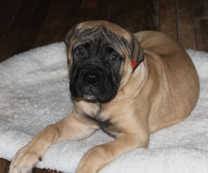 Bulhaven's Forget Me Not, 14 weeks old
