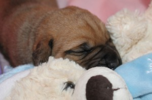 Clara's new puppy, Bulhaven's Lois Lane (ten days old)